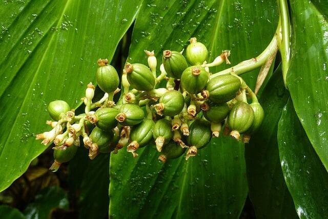 צמח קפה ירוק להרזיה