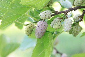 תות לבן